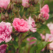 Stock Photo: Beautiful pink peony flowers