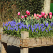 Flowerbed of pink tulips and grape hyacinths Muscari. — Stock Photo