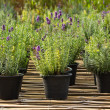 Stock Photo: Lavender plant in nursery
