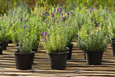 Lavender plant in nursery — Stock Photo