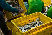 Fisherman workers sorting fishes — Stock Photo