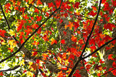Red Maple leaf on tree — Stock Photo