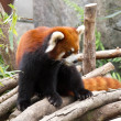 Royalty-Free Stock Photo: Red Panda in a Zoo.