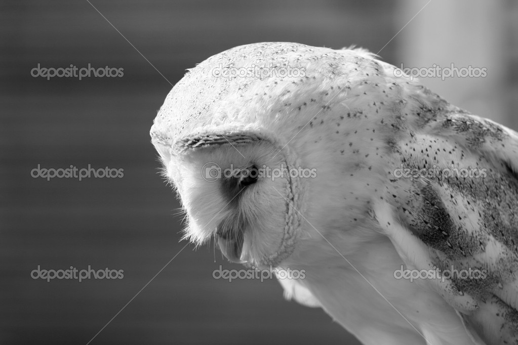 Barn owl looking down, slightly side view — Stock Photo #10959775