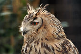 Long Eared Eagle Owl — Stock Photo