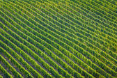 Plenty of vine rows in Palava, Czech Republic — Stock Photo