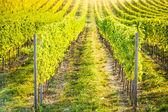 Detail of vineyard in Palava, Czech Republic — Stock Photo