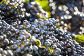Heaps of vine grapes ready to be processed — Stock Photo