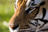 Concentrated Look of a Tiger — Stock Photo