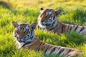 Sunset Tigers — Stock Photo