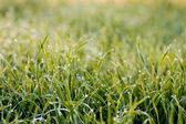 Grass Detail with Condensation — Stock Photo