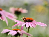 Daisies and bees — Stock Photo