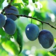 Plum — Stock Photo #10996903