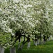 Stock Photo: Apple tree in bloom