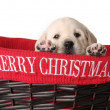 Christmas puppy — Stock Photo #11000814
