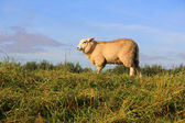 Wooly sheep grazing in the field. — Stock Photo