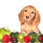 Christmas dachshund puppy — Stock Photo