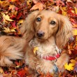 Autumn dachshund dog — Stock Photo