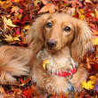 Stock Photo: Autumn dachshund dog