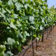 Vineyard — Stock Photo #11105642