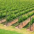 Vineyard — Stock Photo #11105645