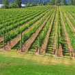 vineyards — Stock Photo #11105647