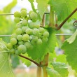 Stock Photo: Vineyard grapes