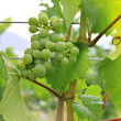 Vineyard grapes — Stock Photo #11105777