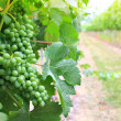 Vineyard grapes — Stock Photo #11105784