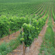 The vineyard — Stock Photo #11105786