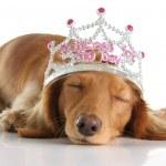 Dog princess — Stock Photo
