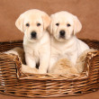 Two lab puppies — Stock Photo #11106196