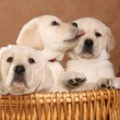 Labrador puppies. - Stock Photo