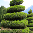 Stock Photo: Large evergreen topiary