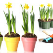 Potted daffodils — Stock Photo