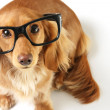 intelligenter hund — Stockfoto