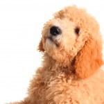 Golden doodle puppy — Stock Photo