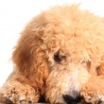 Shy puppy — Stock Photo