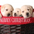 Stock Photo: Christmas puppies