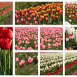 Stock Photo: Tulip collage