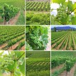 Vineyard - Foto de Stock