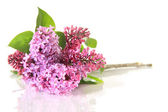Lilacs — Stock Photo
