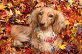 Autumn dachshund dog — Stock Photo