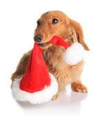 Naughty Santa dog — Stock Photo