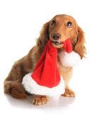 Naughty Christmas dog — Stock Photo