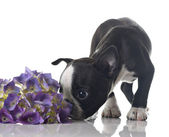 Boston terrier puppy — Stock Photo