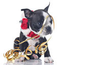Gracioso boston terrier — Foto de Stock