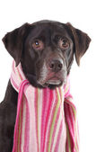 Labrador in einen rosa schal — Stockfoto