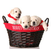 Three Christmas puppies — Stock Photo