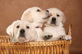 Labrador puppies. — Stock Photo
